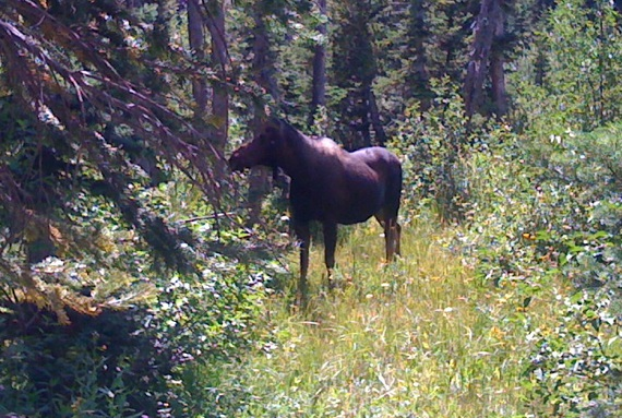 photo-moose
